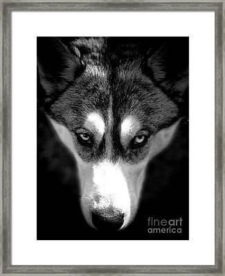 Beautiful Husky Framed Print by Karen Lewis