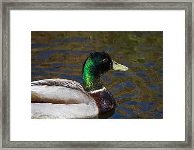 Beautiful Iridescent Mallard Duck  Framed Print by Mr Bennett Kent