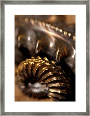Beautiful Jurassic Pyrites Gold Ammonites Framed Print by Paul D Stewart