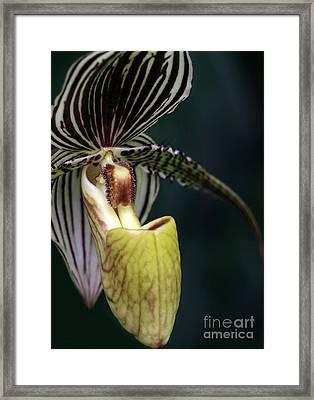 Beautiful Lady Slipper Orchid Framed Print by Sabrina L Ryan
