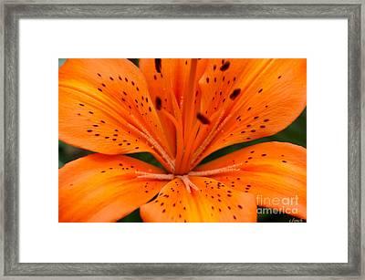 Beautiful Lily Framed Print by Carol Lynch