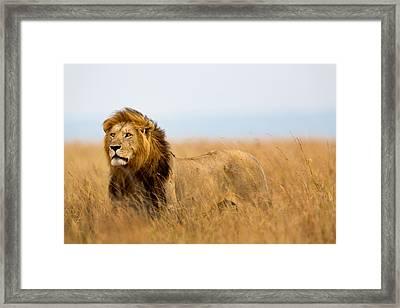 Beautiful Lion Caesar In Masa Mara Framed Print