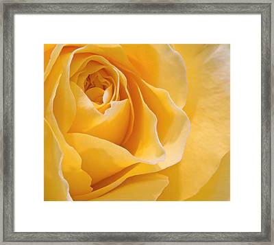 Beautiful Macro Close Up Of Fresh Sprring Rose Flower With Vibra Framed Print by Matthew Gibson