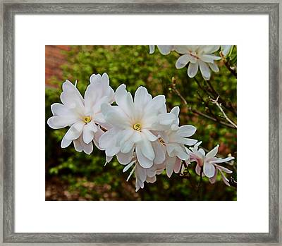 Beautiful Magnolias 2 Framed Print by Victoria Sheldon