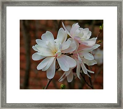 Beautiful Magnolias Framed Print by Victoria Sheldon