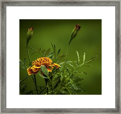 Beautiful Marigold Framed Print by Jean-Jacques Thebault