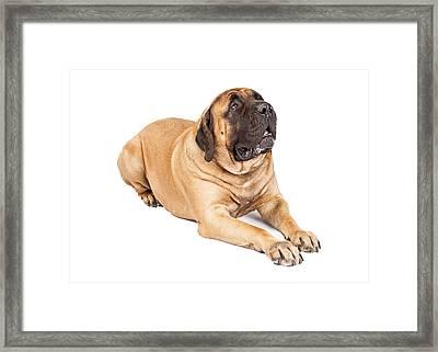 Beautiful Mastiff Dog Laying Framed Print by Susan Schmitz