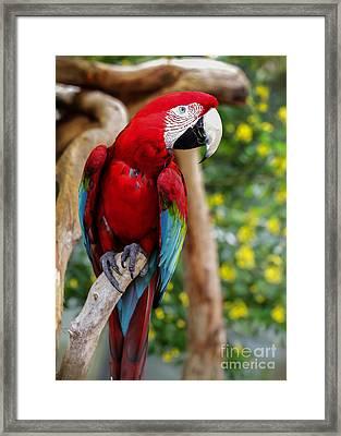 Beautiful Mccaw Framed Print by Sabrina L Ryan