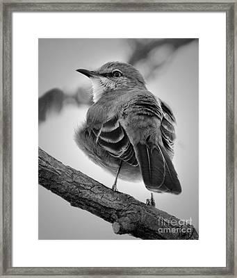 Framed Print featuring the photograph Beautiful Mockingbird by Anita Oakley