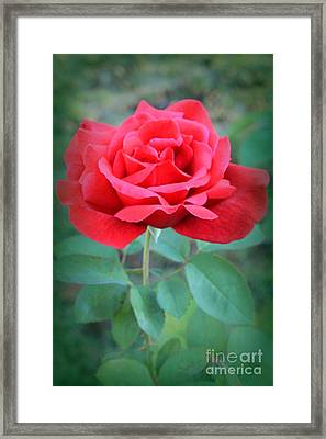 Beautiful Morning Rose  Framed Print