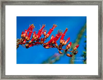Beautiful Ocotillo Framed Print by Robert Bales