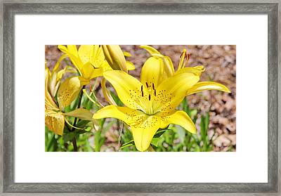 Beautiful Open Yellow Lily Framed Print