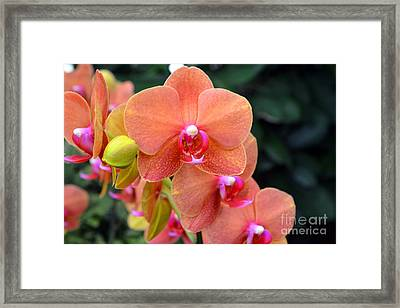 Beautiful Orchids Framed Print by Anne Marie Corbett