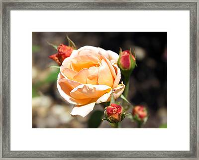 Framed Print featuring the photograph Beautiful Peach Orange Rose by Ellen Tully