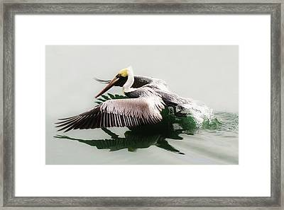 Beautiful Pelican Framed Print by Paulette Thomas