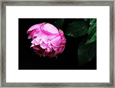 Beautiful Peony Framed Print by Trina  Ansel