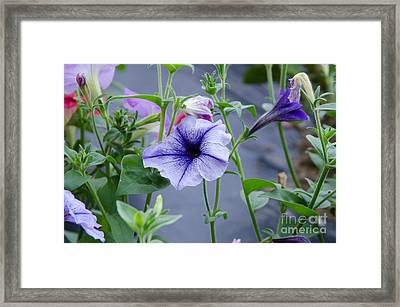 Beautiful Petunias Framed Print by Wilma  Birdwell