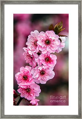 Beautiful Pink Blossoms Framed Print by Robert Bales