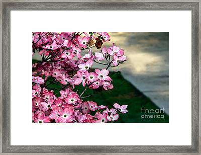Beautiful Pink Dogwood Framed Print