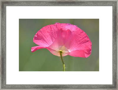Beautiful Pink Poppy Flower Framed Print by P S