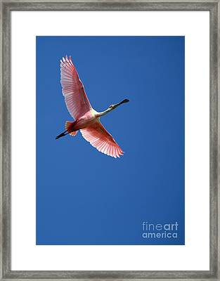 Beautiful Pink Roseate Spoonbill Framed Print by Sabrina L Ryan