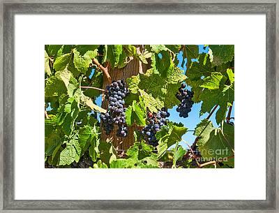 Beautiful Purple Grapes From Wine Vineyards In Napa Valley California. Framed Print by Jamie Pham