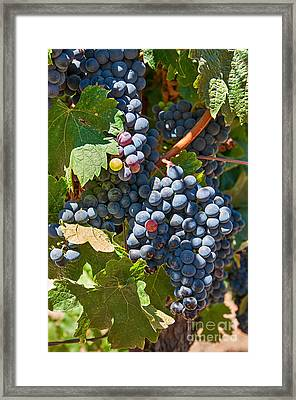 Beautiful Purple Grapes In Wine Vineyards In Napa Valley In California. Framed Print