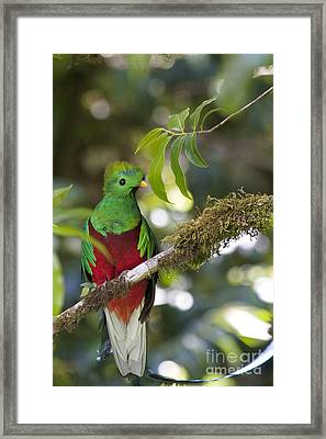 Beautiful Quetzal 1 Framed Print by Heiko Koehrer-Wagner