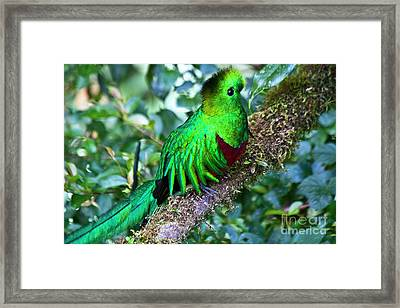 Beautiful Quetzal 2 Framed Print by Heiko Koehrer-Wagner