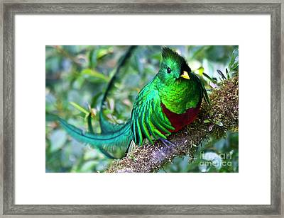 Beautiful Quetzal 4 Framed Print