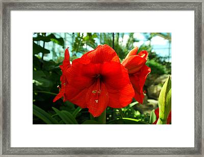 Beautiful Red Blossoms Framed Print by Jeff Swan