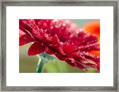 Beautiful Red Gerbera Framed Print