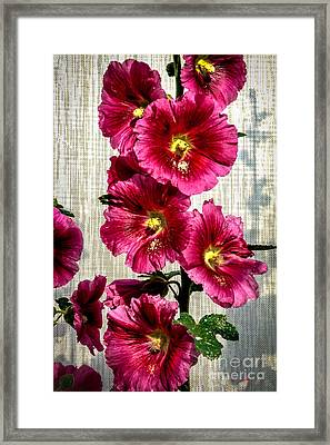 Beautiful Red Hollyhock Framed Print by Robert Bales
