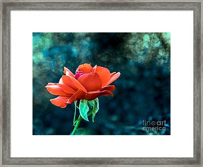 Beautiful Red Rose Framed Print