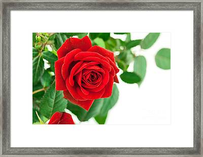 Beautiful Red Roses Flower Framed Print by Boon Mee
