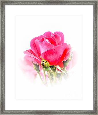 Framed Print featuring the photograph Beautiful Rose by Anita Oakley
