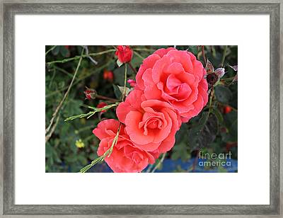 Framed Print featuring the photograph Beautiful Roses by Cendrine Marrouat