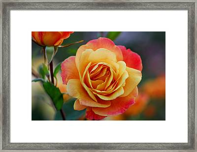 Beautiful Roses Framed Print by Jean-Jacques Thebault