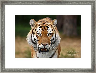 Beautiful Siberian Tiger Framed Print by Boon Mee