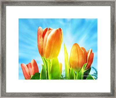 Beautiful Spring Tulips Background Framed Print by Michal Bednarek