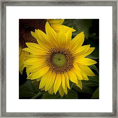 Beautiful Sunflower Framed Print
