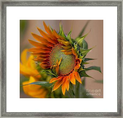 Beautiful Sunflower Framed Print by John  Kolenberg