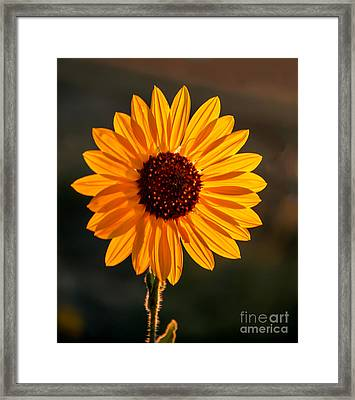 Beautiful Sunflower Framed Print by Robert Bales