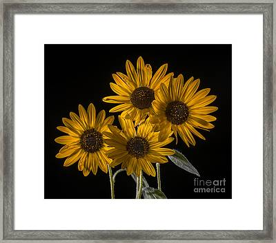 Beautiful Sunflowers On Black Framed Print by Vishwanath Bhat