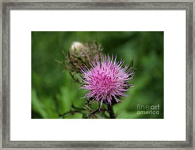 Beautiful Thistle Framed Print by Theresa Willingham