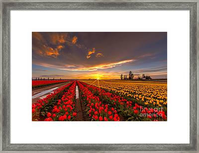 Beautiful Tulip Field Sunset Framed Print