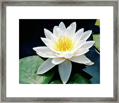 Beautiful Water Lily Capture Framed Print