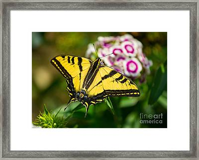 Beautiful Western Tiger Swallowtail Butterfly On Spring Flowers. Framed Print by Jamie Pham