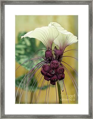 Beautiful White Bat Flower Framed Print by Sabrina L Ryan