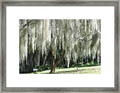 Framed Print featuring the photograph Beautiful White Spanish Moss Hanging From Trees by Jodi Terracina